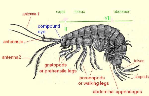 Common Freshwater Shrimp Or Gammarus Pulex