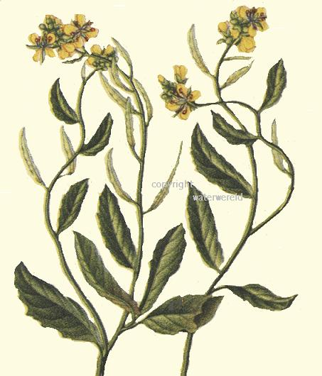 Mustard Flower Drawing Seed of Charlock