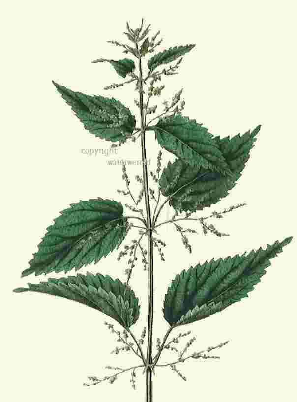 stinging nettle, bignettle or Urtica dioica