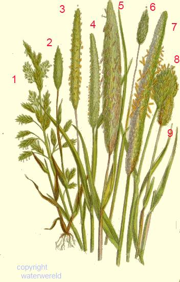 Phalaris Canariensis mostly members of the ...