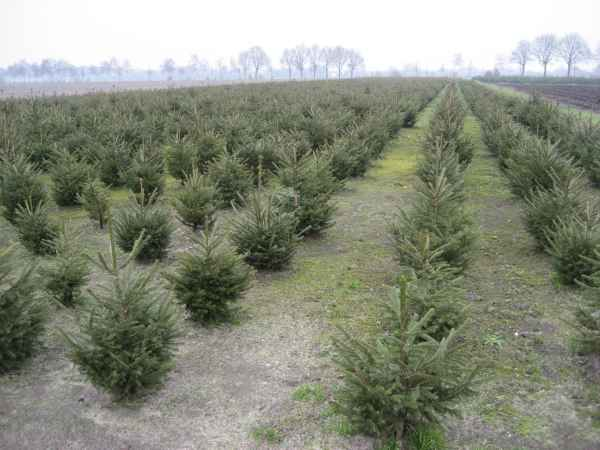Norway Spruce Or Picea Abies