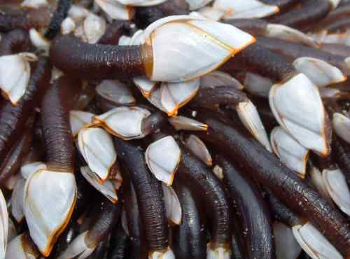 Objects Found In Rocks Goose barnacles ...